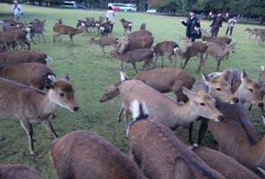 奈良公園の鹿.jpg